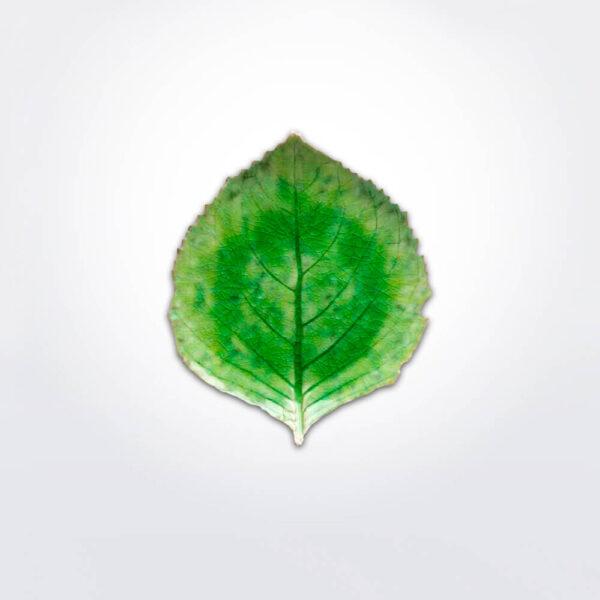 Riviera hydrangea leaf set gray background.