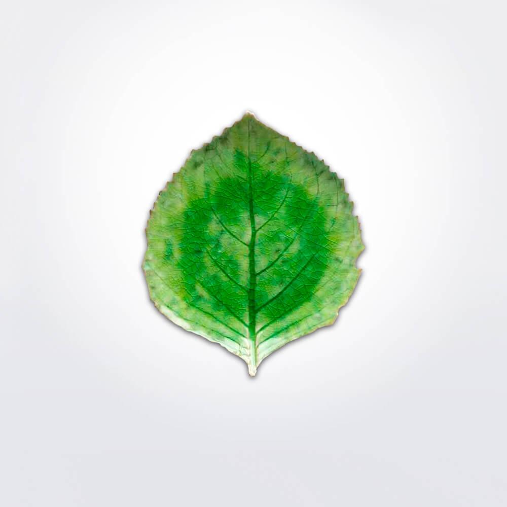 Riviera-hydrangea-leaf-set